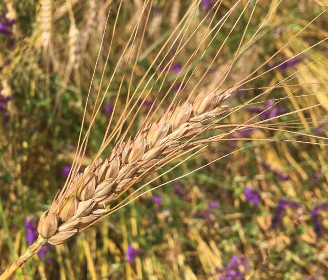 Projet Pain blé barbu de Lacaune du Parc naturel du Haut-Languedoc