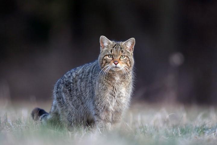 Chat forestier d'Europe présent dans le Parc naturel régional Haut-Languedoc
