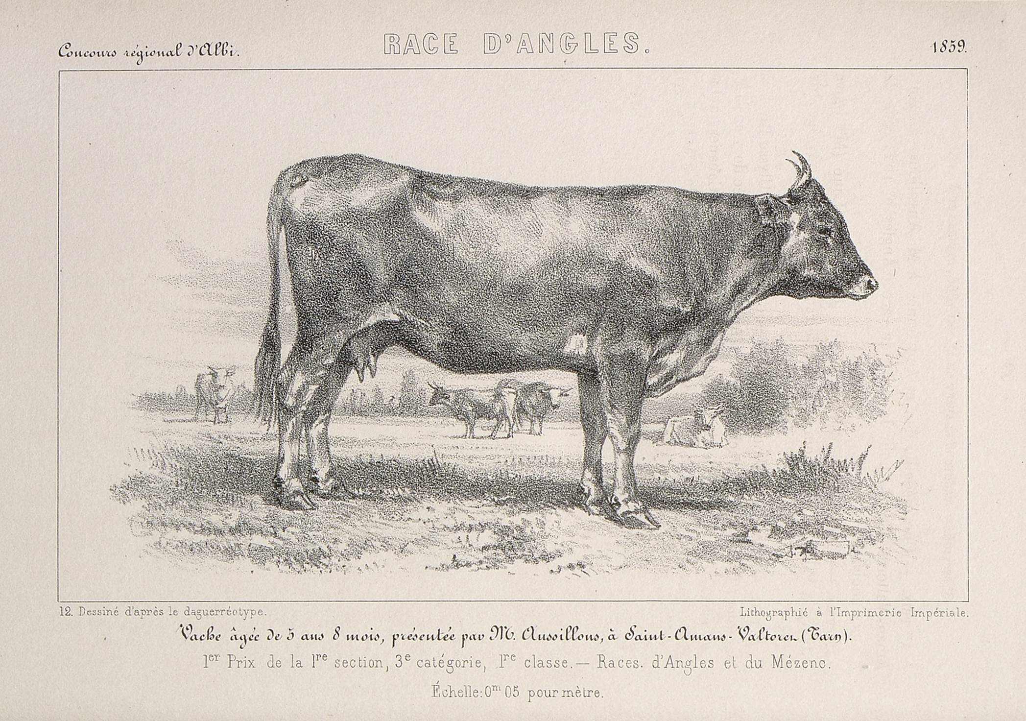 Gravure ancienne de la vache d'Anglès, Tarn © Bibliothèque historique de ministère de l'agriculture, MRSH
