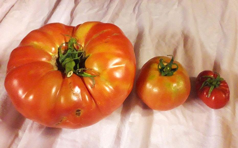 Photo Tomate ancienne d'Alexandre à Lacabarède, Tarn - © PnrHL