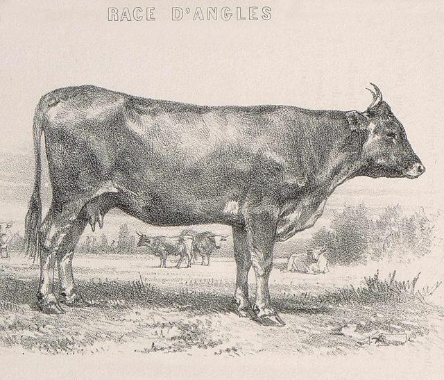Gravure de la Vache d'Anglès du Parc naturel du Haut-Languedoc